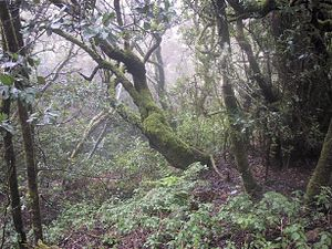 Laurel forest - Laurel rain forest in La Gomera