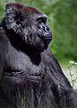Gorilla Profile (17997840570).jpg