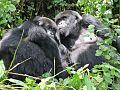 Gorillas-rwanda3.jpg