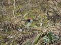 Grünspecht Picus viridis Weibchen-005.jpg