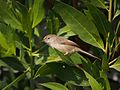 Graceful Prinia in tree 2.jpg