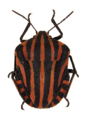 Graphosoma lineatum on white 2.png