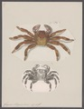 Grapsus strigosus - - Print - Iconographia Zoologica - Special Collections University of Amsterdam - UBAINV0274 094 04 0008.tif