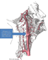 Gray's Anatomy with markup showing carotid artery bifurcation.png