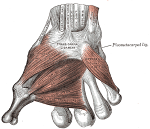 Muscles of the thumb - Image: Gray 426