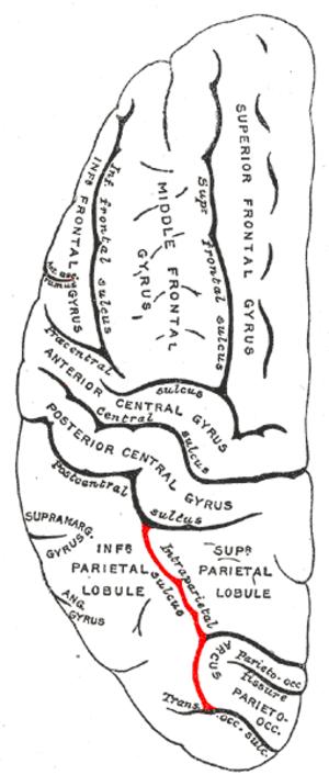 Intraparietal sulcus - Image: Gray 725 intraparietal sulcus