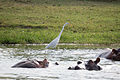 Great egret and hippos - Queen Elizabeth National Park, Uganda.jpg