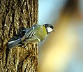 Great tit (23790194105).jpg