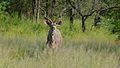Greater Kudu (Tragelaphus strepsiceros) (6032459901).jpg