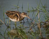 Greater Painted-snipe (Male).jpg