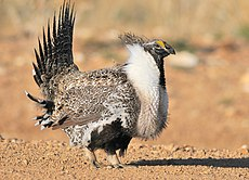Greater Sage-Grouse (25157668484).jpg