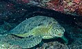 Green Turtle (Chelonia mydas) sleeping (8502954115).jpg