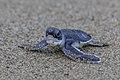 Green sea turtle (Chelonia mydas) - Indonesia 23.jpg