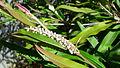Grevillea Coastal Glow (G. barklyana subsp. macleayana x G. aspleniifolia) 01.jpg