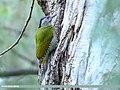 Grey-headed Woodpecker (Picus canus) (24826528977).jpg