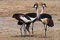 Grey Crowned Crane (27499815064).jpg