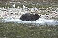 Grizzly on the Nekite River - panoramio - Jack Borno.jpg
