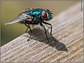 Groene keizersvlieg - Common Green Bottle fly (7228955364).jpg