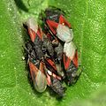 Ground Bugs - Flickr - treegrow (1).jpg