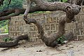Ground cracker, Sadhu ka Bagh.jpg