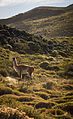 Guanaco in the Patagonian Steppe.jpg