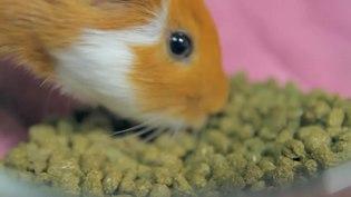 File:Guinea pig (Cavia porcellus) as a pet.webm