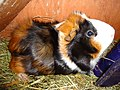 Guinea pig with rosettes.jpg