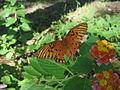 Gulf Fritillary Butterfly on a Lantana 65.JPG