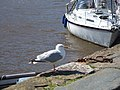 Gull at Lower Town harbour - geograph.org.uk - 532303.jpg