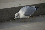 A gull scavenging for food
