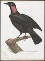 Gymnoderus foetidus - 1801 - Print - Iconographia Zoologica - Special Collections University of Amsterdam - UBA01 IZ16600131.tif