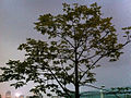 HK Admiralty night Tamar Park tree 30-Oct-2012.JPG