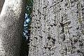 HK CWB 高士威道 Causeway Bay Road 維多利亞公園 Victoria Park tree Sept 2017 IX1 吉貝 Ceiba pentandra trunk 08.jpg