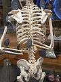 HK TST Science Museum Bones exhibit 23 人類 skeletons.JPG