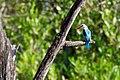 Halcyon senegalensis -Gambia-8.jpg