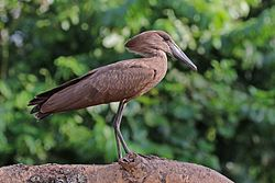 Hamerkop (Scopus umbretta umbretta).jpg
