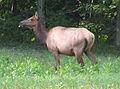 Happy Elk At Caledonia, Elk County.JPG