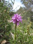Har Adar Wild Orchid