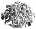 Haricot sabre nain hâtif de Hollande Vilmorin-Andrieux 1883.png
