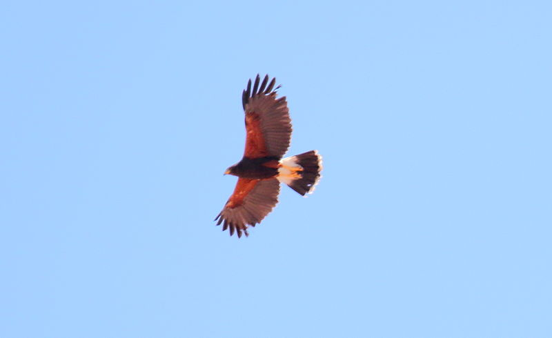 File:Harris' hawk (Parabuteo unicinctus) (16590327134).jpg
