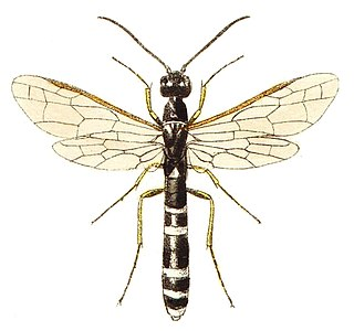 Cephoidea superfamily of insects