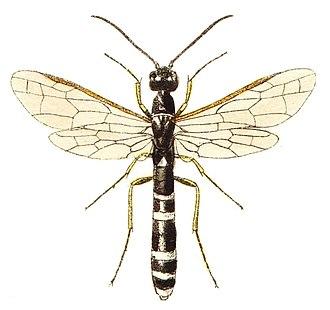 Cephoidea - Hartigia linearis (Cephidae)