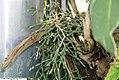Hatiora salicornioides 1zz.jpg