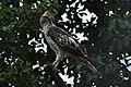 Hawk with feathers on head.jpg