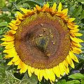 Helianthus annuus-IMG 9241.jpg