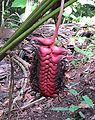 Heliconia mariae-- the Beefsteak Heliconia (29822206805).jpg