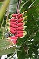 Heliconia rostrata 35zz.jpg