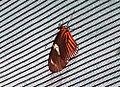 Heliconius doris 8zz.jpg