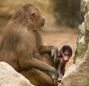 Singapore Zoo - Hamadryas baboons