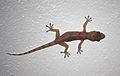Hemidactylus mabouia in Picard, Dominica 06.jpg